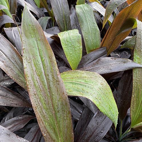 Cordyline fruticosa Negra