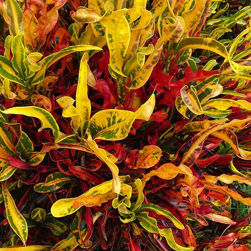 Codiaeum variegatum Mammy (Croton)