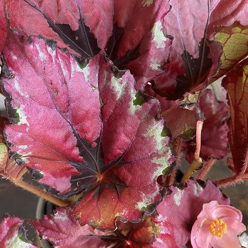 Begonia rex Kotubuki Squats