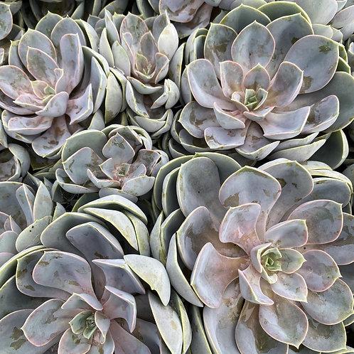 Echeveria Perle Von Nurnberg Squats