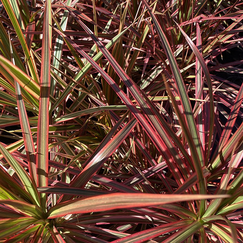 Dracaena marginata Colorama