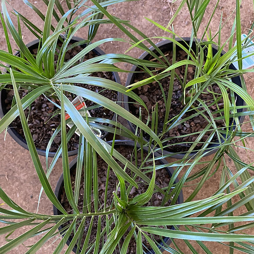 Phoenix roebelenii (dwarf date palm)