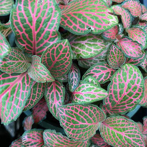 Fittonia albivensis Jungle Flame