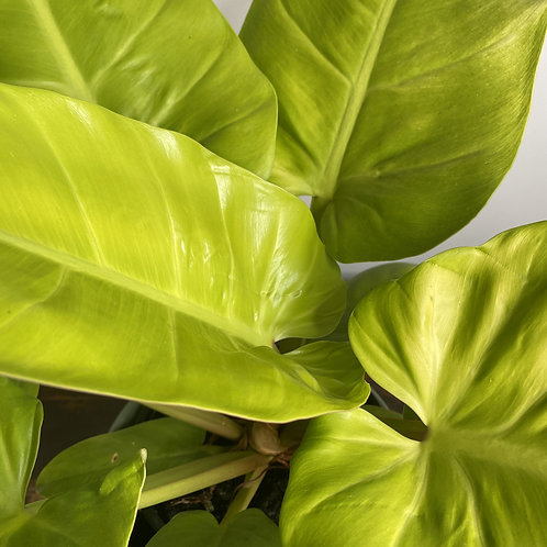 Philodendron melinonii Gold
