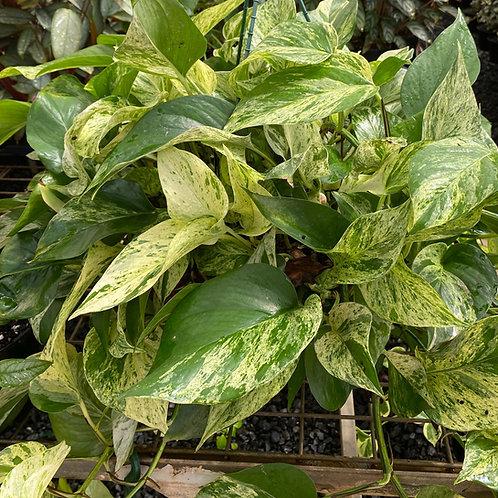 Epipremnum aureum Devils Ivy