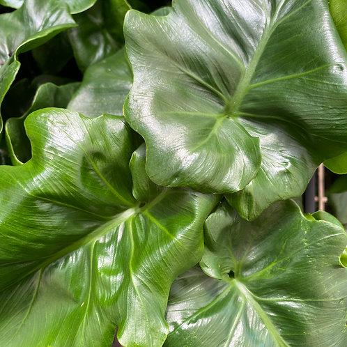 Philodendron selloum Super Atom