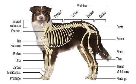 cropped-dog-musculosketal1.jpg