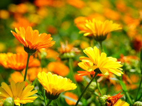 Why Calendula flowers are a great addition to your skincareroutine?
