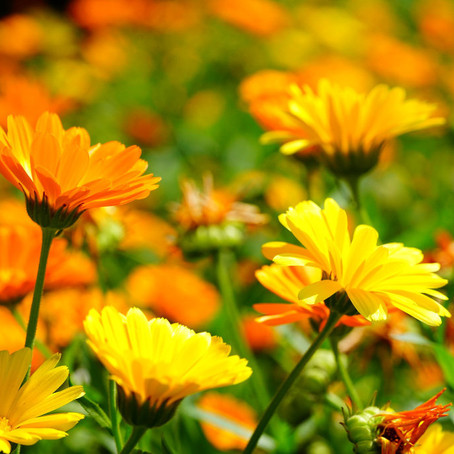 Why Calendula flowers are a great addition to your skincare routine?