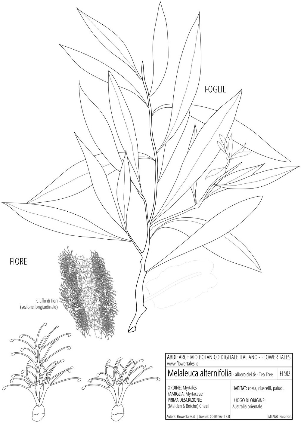 Tea tree plant - botanical