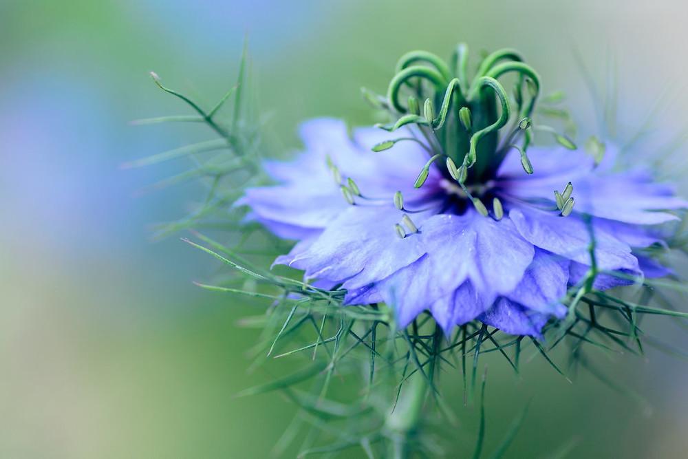 beautiful and natural nigella flower
