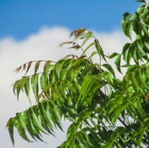 What is Neem Oil and Why is It Good For Your Skin?
