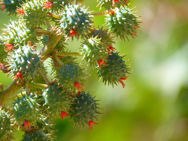 Castor oil plant fruit