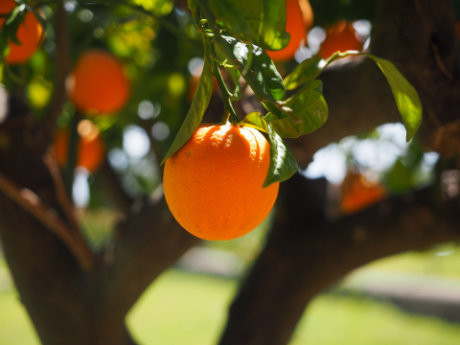 organic natural orange fruit tree