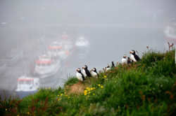 Puffin Family. Edition