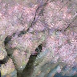 Ume Flower 4