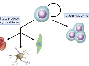 What is a Stem Cell?