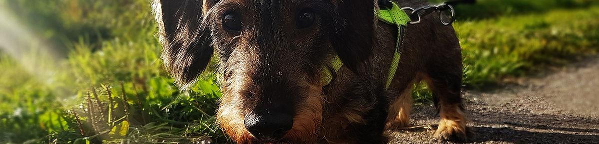 dachshund-2781906_1280.jpg