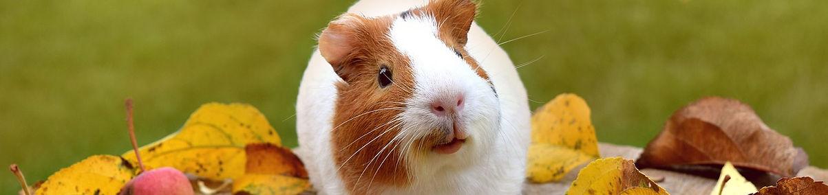 guinea-pig-1702972_1280.jpg