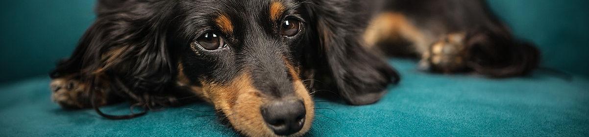 sterilisatie en castratie hond.jpg