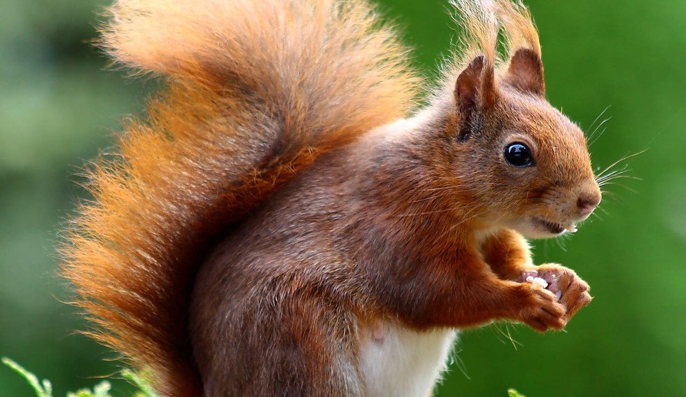 squirrel-animal-cute-rodents-47547.jpeg