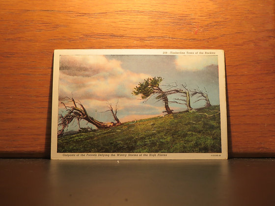 Timberline Trees of The Rockies, Colorado