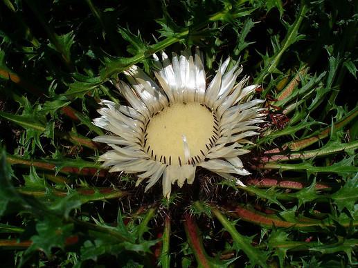 B_Bükki növények_Szártalan bábakalács2.j