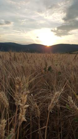 Corn field over Bükkzsérc