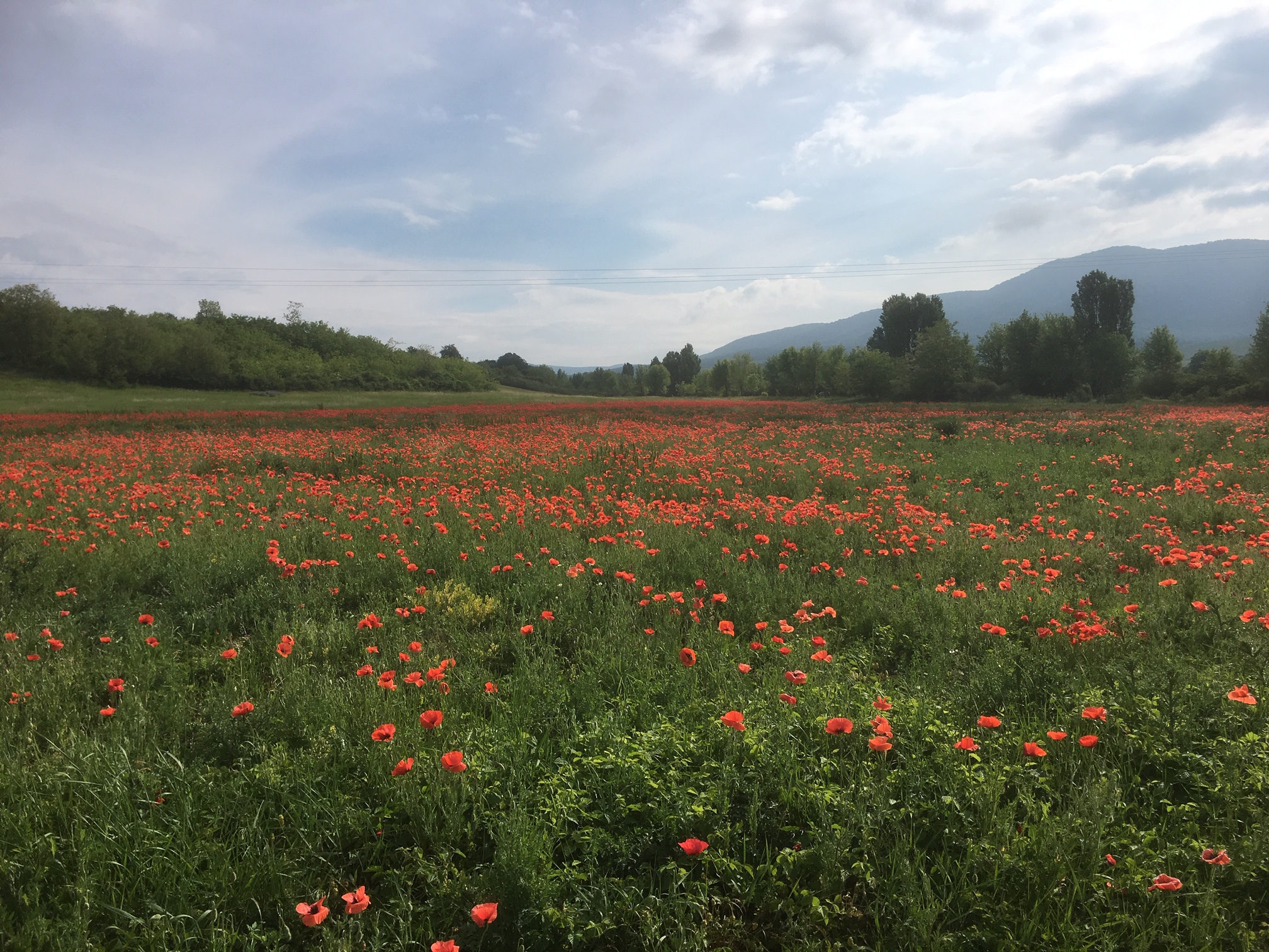 Blooming poppyfield 2018