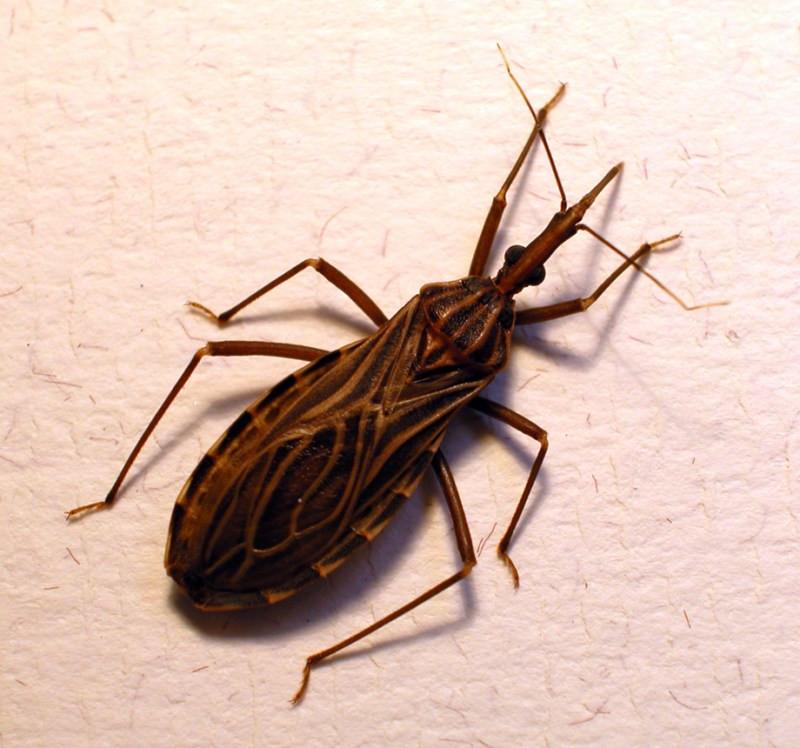 Chagas disease, cannabis, marijuana, cannabis terpenes, beta-caryophyllene,