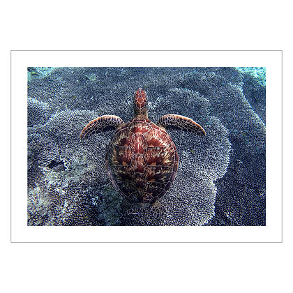 Turtle Coral | Ivan Sarenas