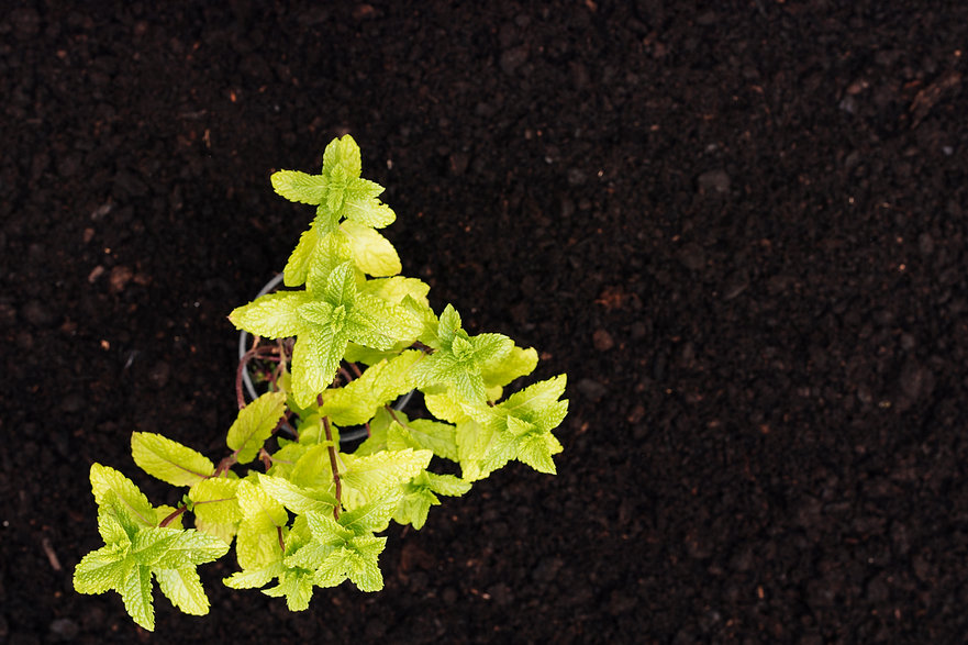 top-view-mint-plant-ground.jpg