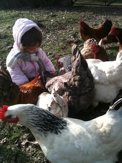 Nos amis les poules en liberté