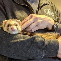 Concern for Animals CFA Ferret Animal Welfare Pet Animal