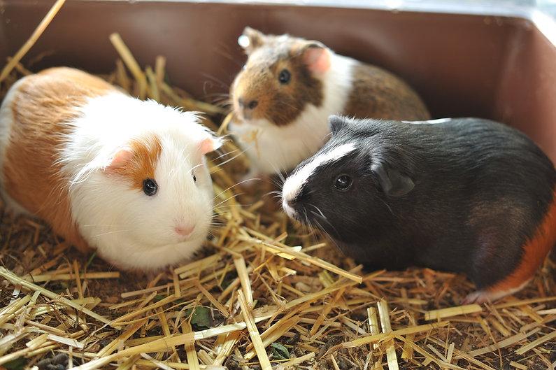 guinea-pig-3833760_1920.jpg