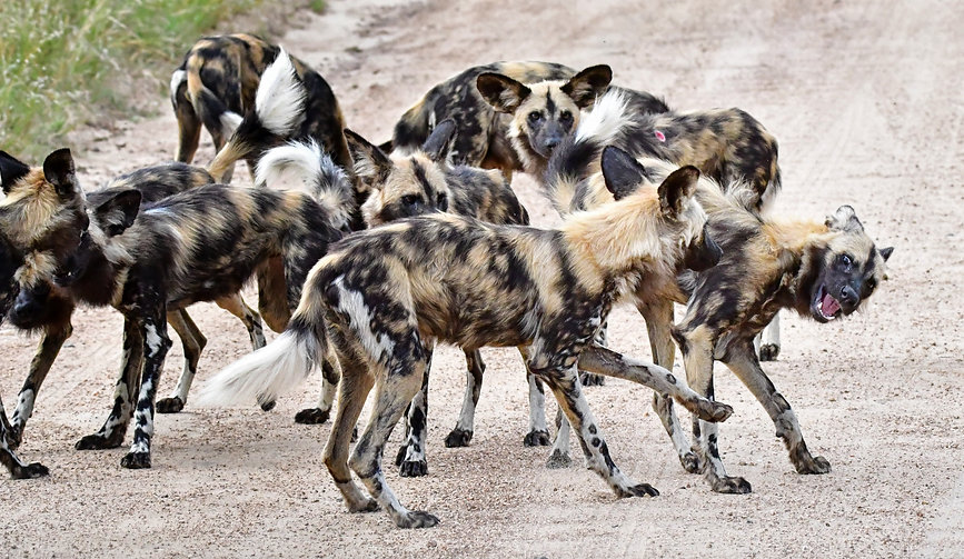 TC-PKOP-Wild-dogs-dlc-de-DSC_7887_IJFR.jpg