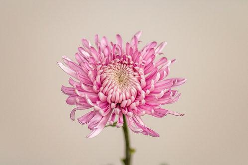 Hornbill Light Pink