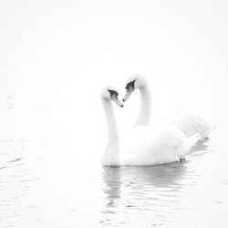 River Exe Swans