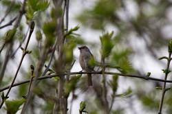 Nightingale in the garden