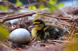1 day old duckling