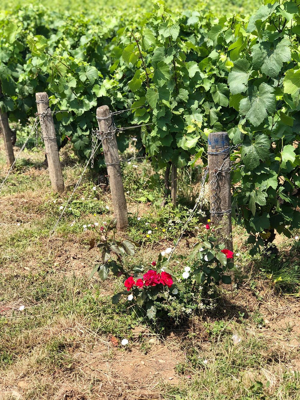Biodynamic vineyard in Chablis Route des Grands Crus in Burgundy France