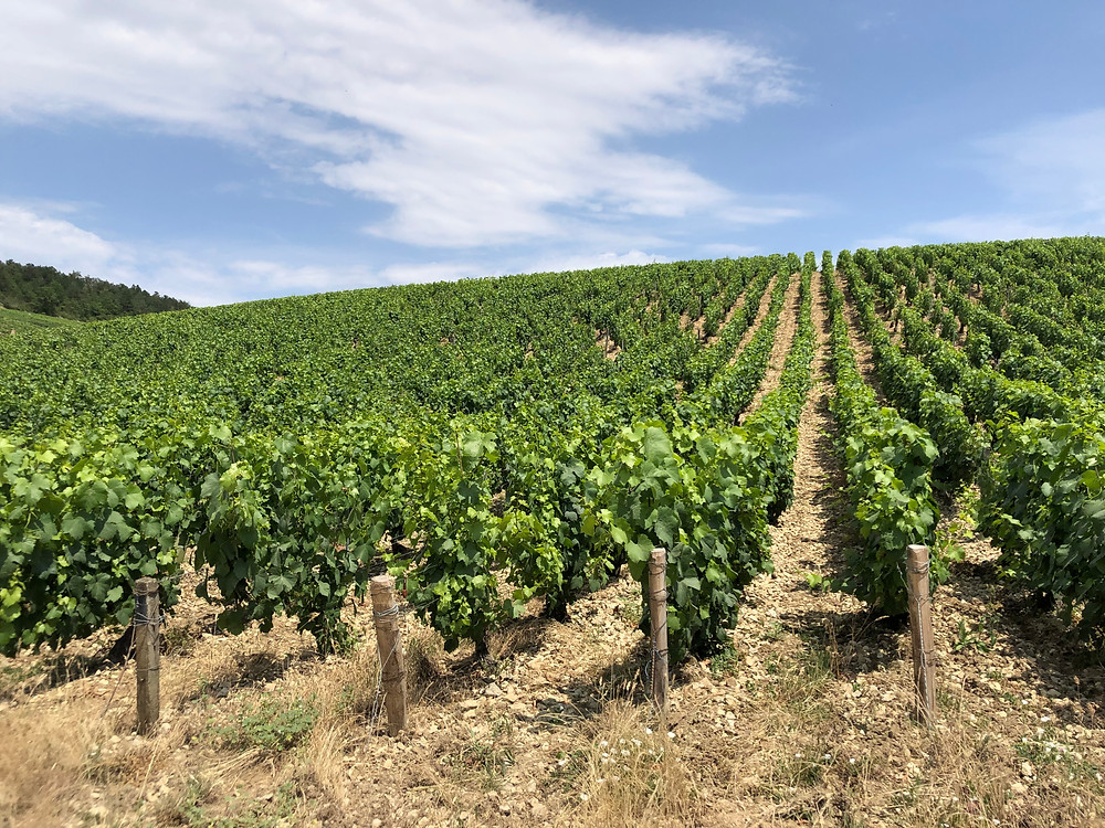 Chablis Grand Cru vineyards in Burgundy France