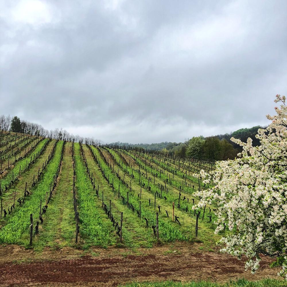 vineyard view in La Mesma winery in Gavi DOCG wine region in Novi Ligure, Piemonte