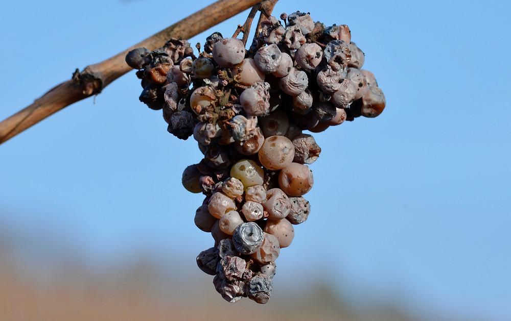 tokaj tokay tokaji wine winery tour hungarian wine winetasting