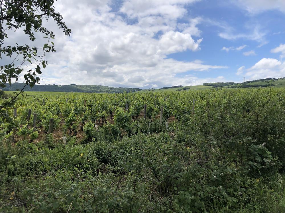 organic biodynamic vineyard in Pouilly-Fuisse wine region Southern Maconnais Burgundy