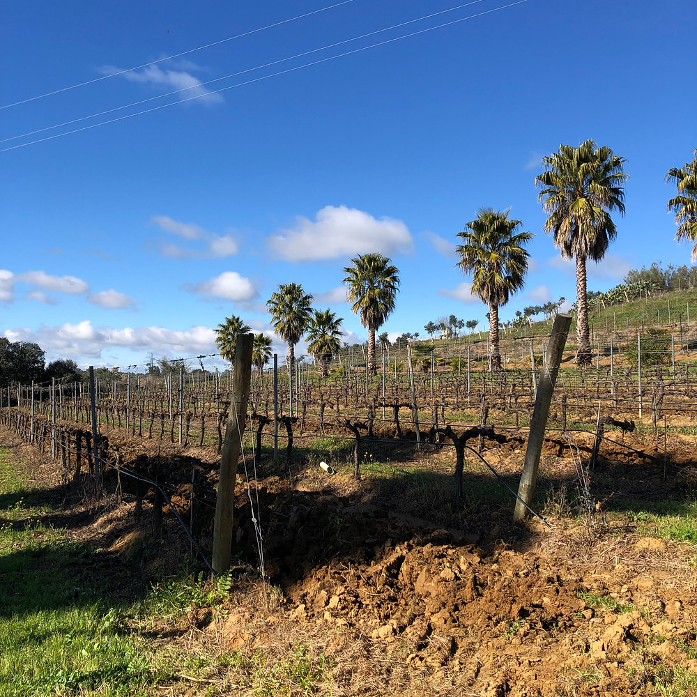 Quinta da Plansel winery tour and wine tasting with a view of a vineyard under the palm trees