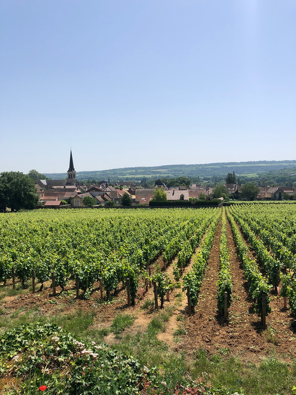 Santenay vineyard in Cote de Beaune Burgundy next to the village of Santenay and the medieval church