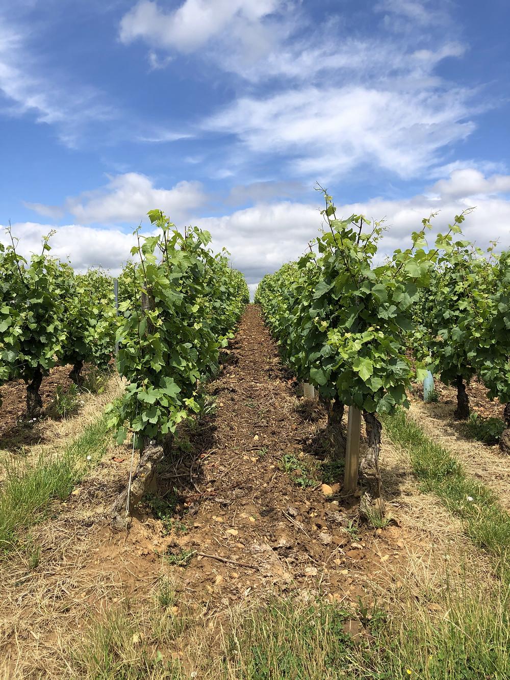 Chardonnay vineyard in Burgundy, Southern Maconnais, Pouilly-Fuisse wine region