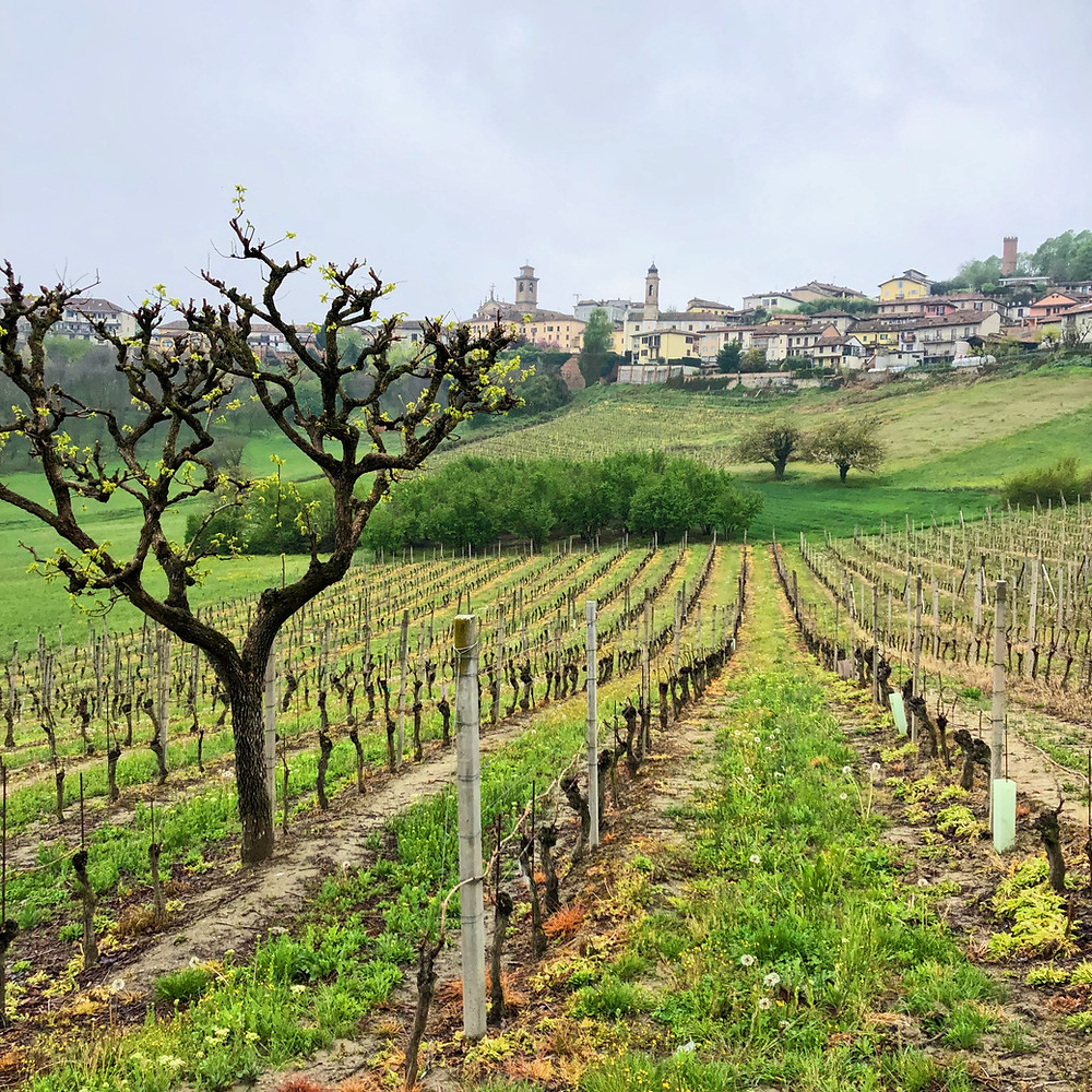 Moscato d'Asti vineyards in spring on a rainy day in Alessandria Piemonte