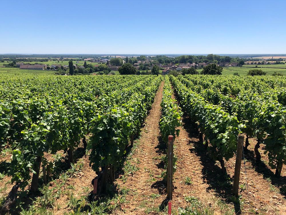 Pinot Noir vineyard in Gevrey-Chambertin in Cote de Nuits in Burgundy